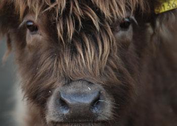 élevage-highland-berney-24